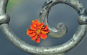 marigold-2440620_1920